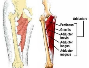 {Ad-ductor-muscles Pectineus,Gracilis,Adductor Longus- Magnus and Brevis}