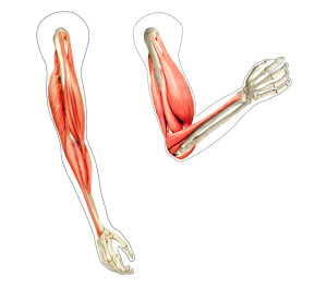 {Arm flexion of the biceps. The pic on the left is extension of the biceps and elbow joint. The right pic is flexion of the biceps and elbow joint.}