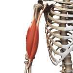 {Biceps Brachii-View Exercises}