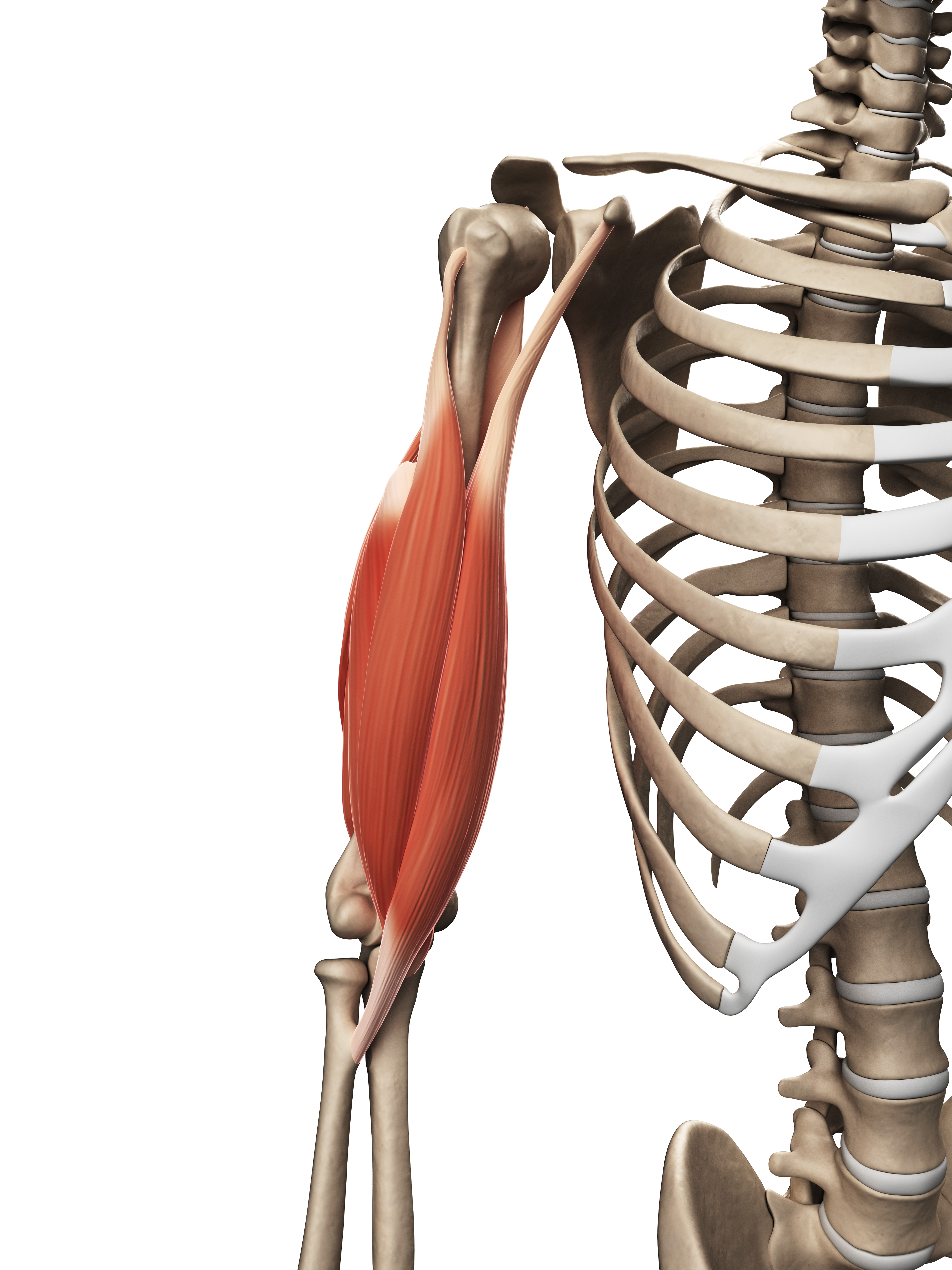 Biceps Brachii} | John The Bodyman Fitness Academy