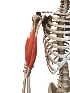 {Biceps Brachii. Notice the split at the top where the tendon goes in 2 directions. The Long Head goes up into the shoulder joint across the Head of the Humerus along the Bicipital Groove into the shoulder socket (AKA Glenoid) and the other connect to a notch off the shoulder blade (coracoid process}