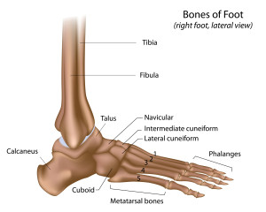 Bones of foot and ankle labeled