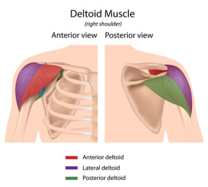 {Deltoid muscle split up into its 3 regions according to the direction the fibers run. Front-Side-Rear (Anterior-Lateral-Posterior}