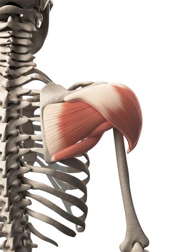 Anterior Deltoid Pain Pattern | John The Bodyman Fitness Academy