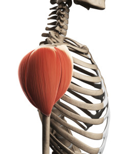 {Deltoid in 3d. Notice the 3 different fiber arrangements that are separating the deltoid into the three regions Front-Side-Back (Anterior-Lateral-Posterior}