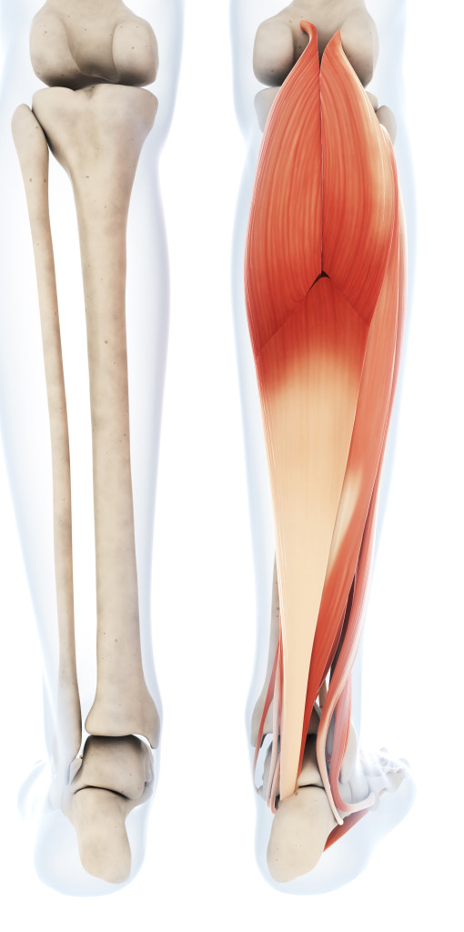 {Gastrocnemius- Notice the bone view on the left, and how ...