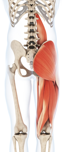 {Glutes--Hamstrings and Illiopsoas rear view(posterior) Notice how the Gluteus Maximus covers the connection of all the hamstrings to the Butt Bone (Ischial Tuberosity}