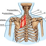 {Rhomboids connect to the vertebral boarders of the scapulas and to the thoracic vertebrae }