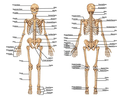 skeletal system introduction, Skeleton