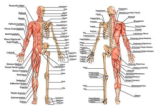Muscle and Bone Anatomy Quiz | John The Bodyman Fitness Academy