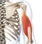 {Triceps from shoulder joint (head of the humerus-rear view (posterior) to elbow joint (Olecranon)}