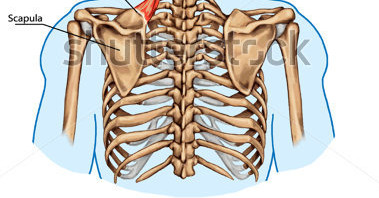 Posterior Thoracics Cage Showing Connection of the Ribs & Thoracic ...