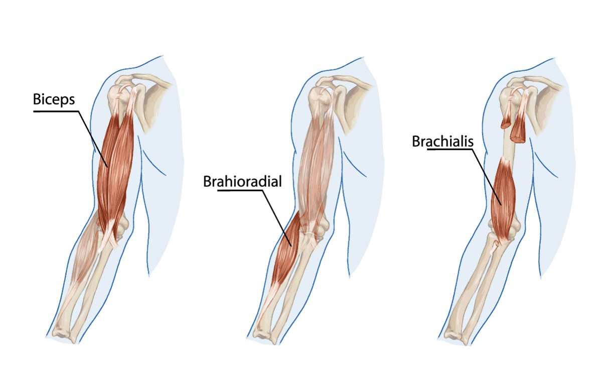 {Biceps Brachii--- --Brachioradialis assists the biceps brachii and brachialis in flexing the elbow --Biceps Brachialis}