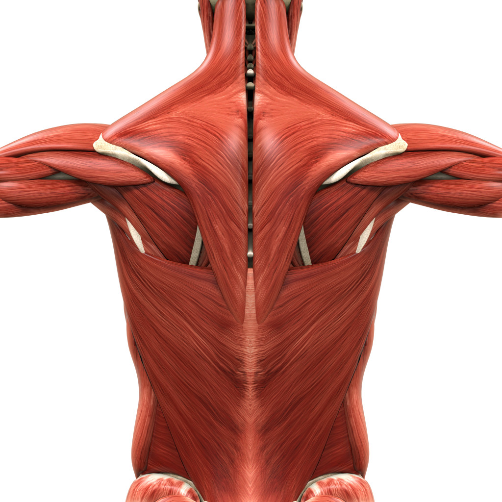 Bodyman Full Back Muscles