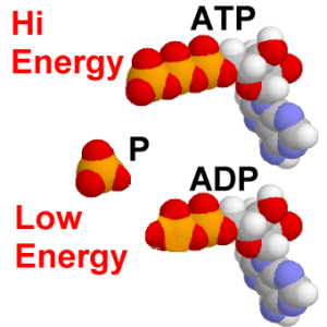 [ATP-ADP-Low Energy]