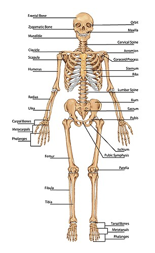 Full Bone Chart Of Man Simply Simple Photo Gallery On Website With ...