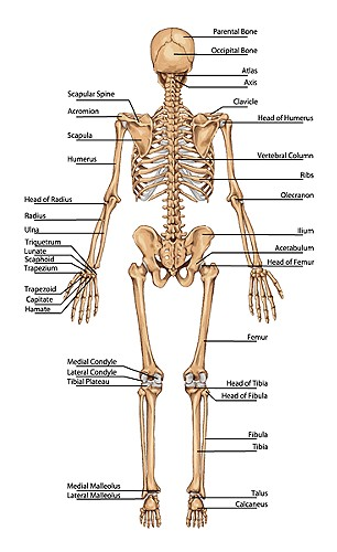 Full Skeleton Chart With Names Posterior Back View