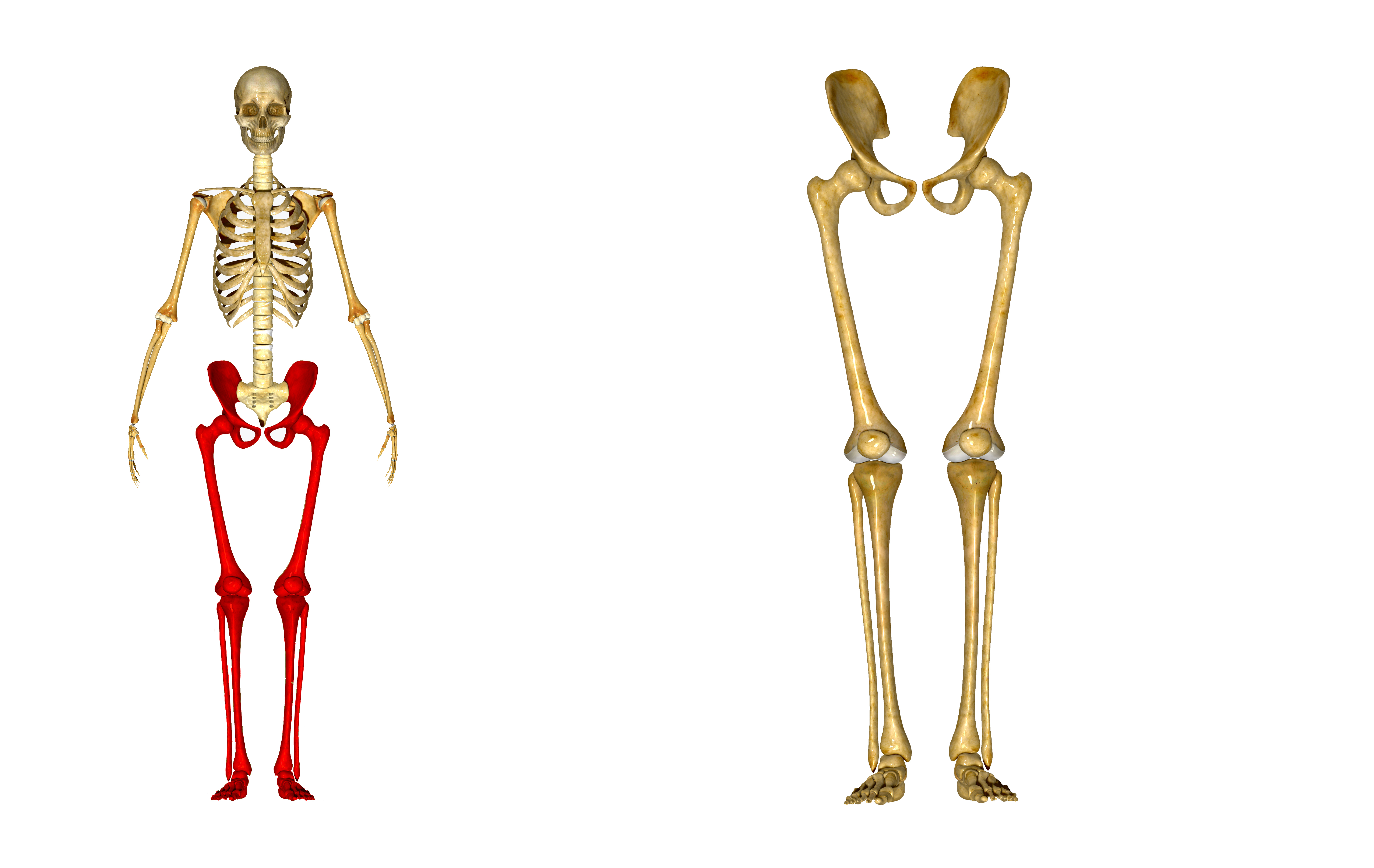 Lower Leg Bones Pelvic
