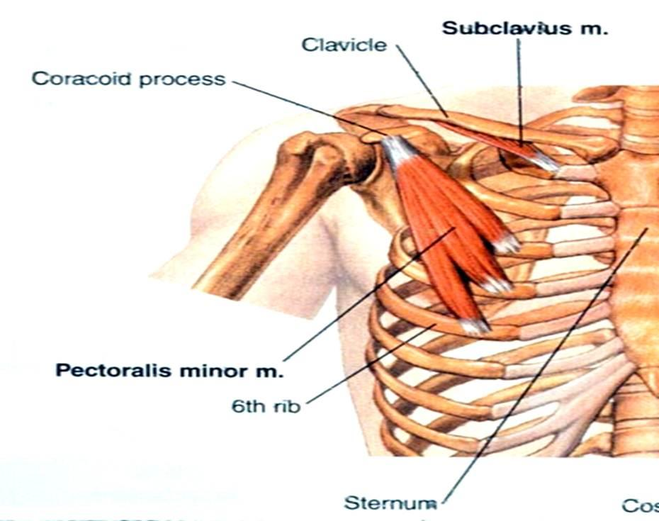 (Chest Muscles) Pectoralis Major and Minor