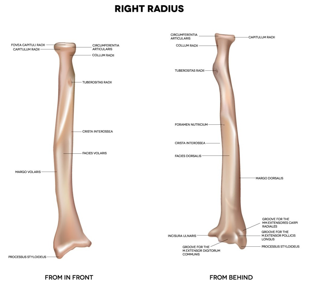 Lower Leg Bones Pelvic-Femur-Tibia-Fibula-Foot} | John The Bodyman ...