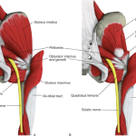 This illustration shows a cut away of the Gluteus Maximus-and-Piriformis. Notice the Piriformis is right under the GM and the Sciatic Nerve runs under the Piriformis.
