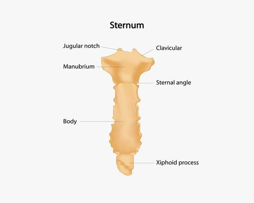{Sternum}