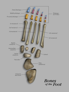 Bones of the foot separated and labled