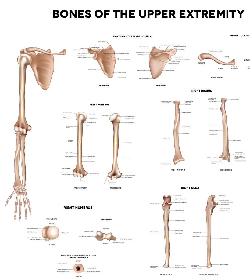 Upper Arm Bone | tenderness.co