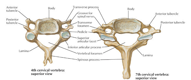 {Diagram of cervical vertebrae}