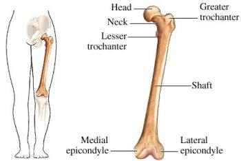 Femur detailed with Head of the Femur, Greater & Lesser Trochanter, Medial & Lateral Epicondyles