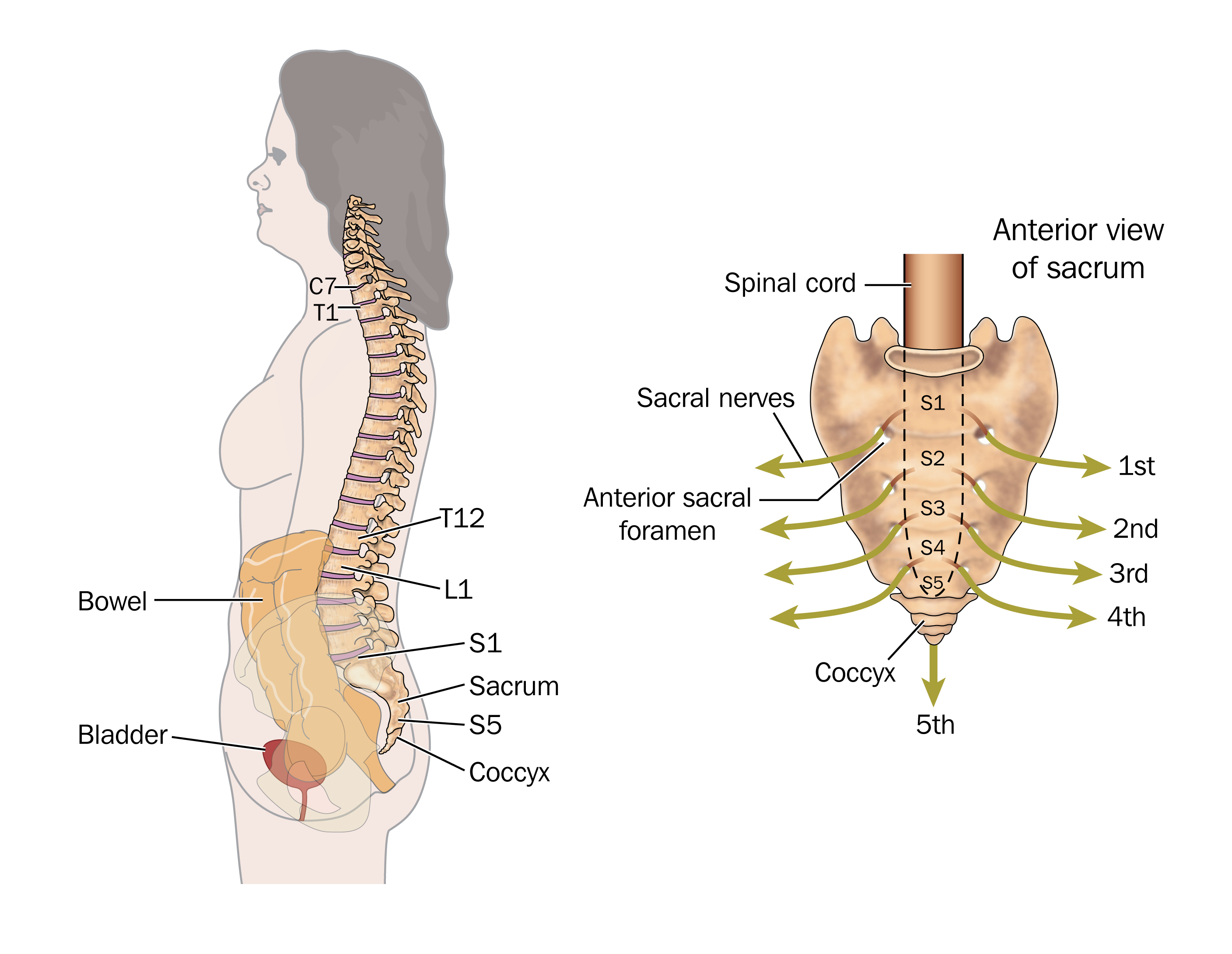 Side view of the bowel, spinal column and sacral nerves, to show the ...