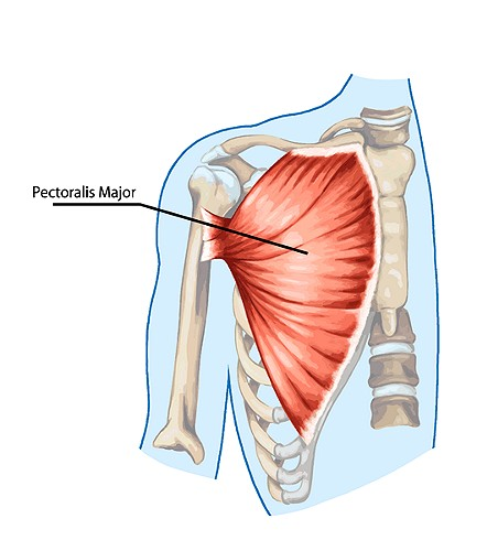 Chest Muscles  Pectoralis Major And Minor