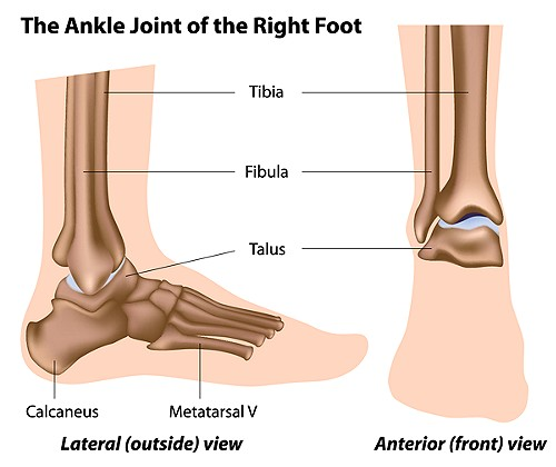 This illustration shows the Tibia, Fibula connection to the Talus Bone forming the ankle joint.