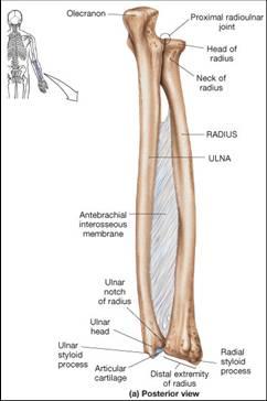 Forearm Bones - Radius and Ulna with Interosseous Membrane | John ...