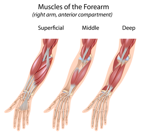 Forearms Extensors