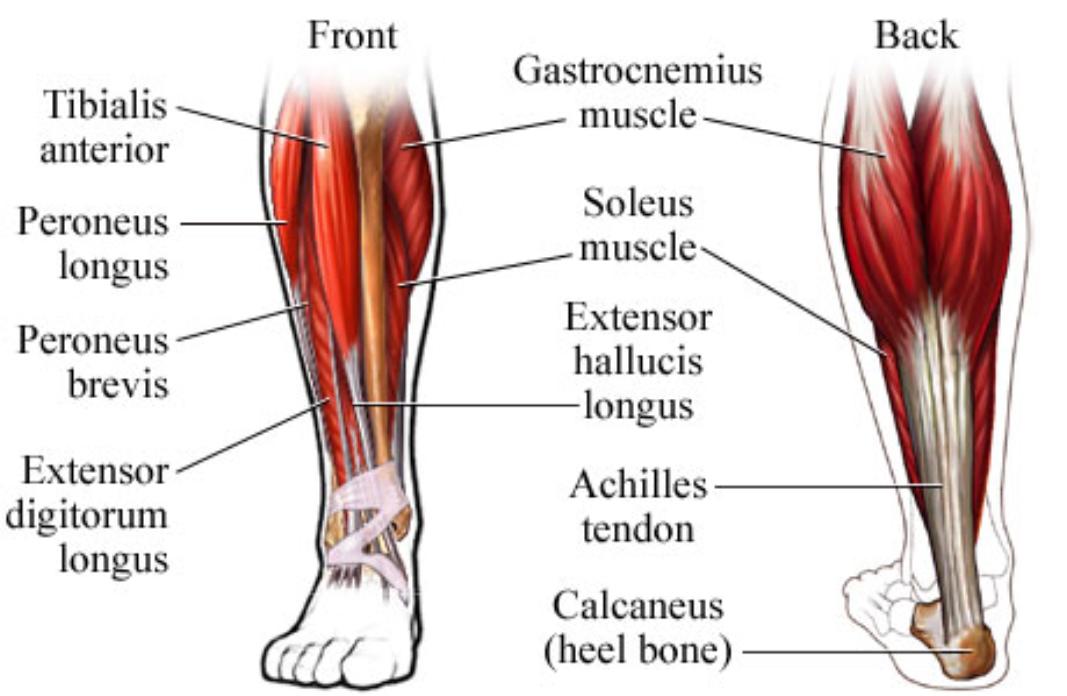 Ankle Extensor Hallucis Longus Brevis Muscle Pain John The