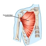 {Pectoralis Major- Flexion of the shoulder joint & humerus bone like front deltoid raise - Abbduction like Pec Flies}